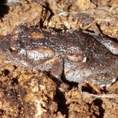 Uperoleia laevigata (Smooth Toadlet) at Holt, ACT - 6 Sep 2021 by tpreston