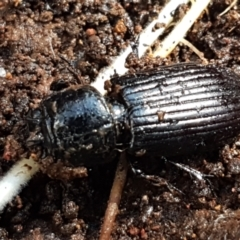 Unidentified Darkling beetle (Tenebrionidae) (TBC) at Weetangera, ACT - 6 Sep 2021 by tpreston