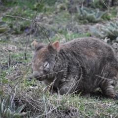 Vombatus ursinus (Common Wombat, Bare-nosed Wombat) at Kambah, ACT - 31 Aug 2021 by DrDJDavidJ