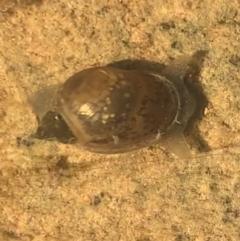 Austropeplea sp. (genus) (Freshwater snail) at Murrumbateman, NSW - 6 Sep 2021 by SimoneC