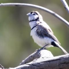 Taeniopygia bichenovii (Double-barred Finch) at Hawker, ACT - 6 Sep 2021 by AlisonMilton