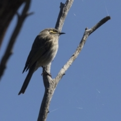 Caligavis chrysops (Yellow-faced Honeyeater) at Hawker, ACT - 6 Sep 2021 by AlisonMilton