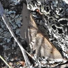 Epicyme rubropunctaria (Epicyme rubropunctaria) at Tuggeranong DC, ACT - 6 Sep 2021 by JohnBundock
