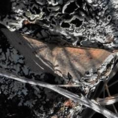 Epicyme rubropunctaria at Tuggeranong DC, ACT - 6 Sep 2021
