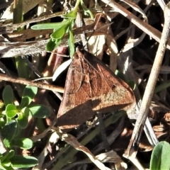 Uresiphita ornithopteralis (Tree Lucerne Moth) at Tuggeranong DC, ACT - 6 Sep 2021 by JohnBundock