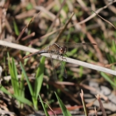 Diplacodes bipunctata (Wandering Percher) at Cook, ACT - 6 Sep 2021 by Tammy