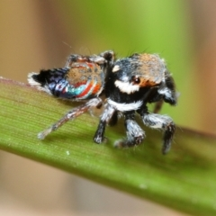 Unidentified Jumping & peacock spider (Salticidae) (TBC) at suppressed - 24 Sep 2018 by Harrisi
