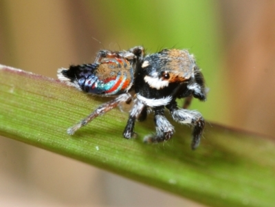Unidentified Jumping & peacock spider (Salticidae) (TBC) at Mount Cotton, QLD - 24 Sep 2018 by Harrisi