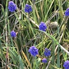 Muscari armeniacum (Grape Hyacinth) at Hughes, ACT - 31 Aug 2021 by Tapirlord