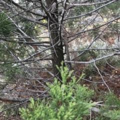 Callitris endlicheri (Black Cypress Pine) at Hughes, ACT - 31 Aug 2021 by Tapirlord
