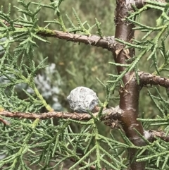 Cupressus arizonica (Arizona Cypress) at Hughes, ACT - 31 Aug 2021 by Tapirlord