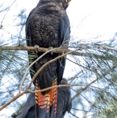 Calyptorhynchus lathami (Glossy Black-Cockatoo) at Penrose, NSW - 2 Sep 2021 by Aussiegall