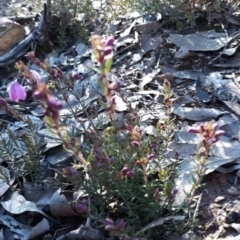 Tetratheca bauerifolia (Heath pink-bells) at Carwoola, NSW - 7 Sep 2021 by Liam.m