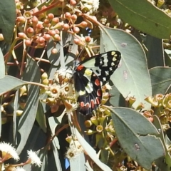 Delias aganippe (Spotted Jezebel) at Tuggeranong DC, ACT - 7 Sep 2021 by HelenCross