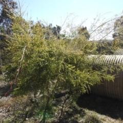 Acacia cincinnata (TBC) at Carwoola, NSW - 22 Aug 2021 by Liam.m