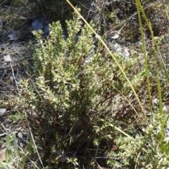 Melichrus urceolatus (Urn Heath) at Carwoola, NSW - 22 Aug 2021 by Liam.m