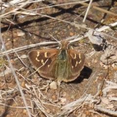Herimosa albovenata (White-veined Sand-skipper) at Theodore, ACT - 6 Sep 2021 by Owen