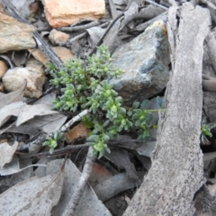 Poranthera microphylla (Small Poranthera) at Carwoola, NSW - 22 Aug 2021 by Liam.m