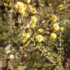 Acacia gunnii (Ploughshare Wattle) at Carwoola, NSW - 22 Aug 2021 by Liam.m