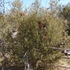 Bursaria spinosa (Native Blackthorn) at Carwoola, NSW - 22 Aug 2021 by Liam.m