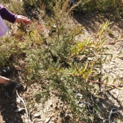 Acacia rubida (Red-leaved Wattle) at Carwoola, NSW - 22 Aug 2021 by Liam.m