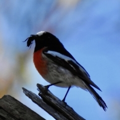 Petroica boodang (Scarlet Robin) at Penrose, NSW - 7 Sep 2021 by GlossyGal