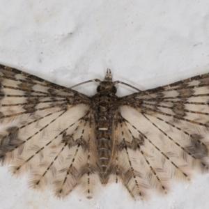 Alucita phricodes at Melba, ACT - 4 Sep 2021
