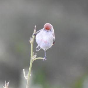 Petroica goodenovii at Binya, NSW - 31 Jul 2020