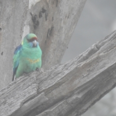 Barnardius zonarius (Australian Ringneck) at Wyalong, NSW - 1 Aug 2020 by Liam.m