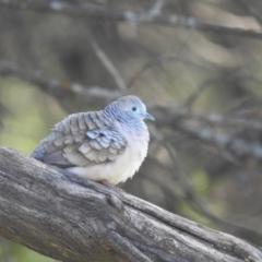 Geopelia placida (Peaceful Dove) at Yenda, NSW - 31 Jul 2020 by Liam.m
