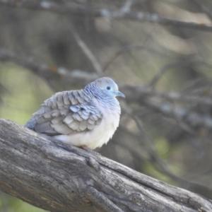 Geopelia placida (Peaceful Dove) at Yenda, NSW by Liam.m
