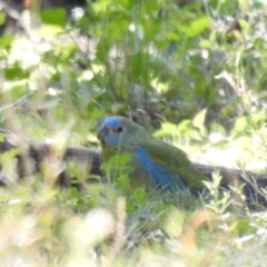 Neophema pulchella (Turquoise Parrot) at Binya, NSW - 31 Jul 2020 by Liam.m