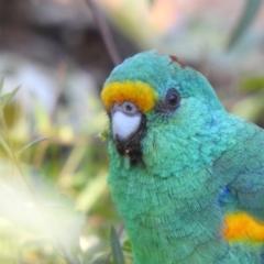 Psephotus varius (Mulga Parrot) at Yenda, NSW - 31 Jul 2020 by Liam.m
