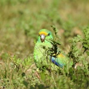 Psephotus varius at Yenda, NSW - 31 Jul 2020