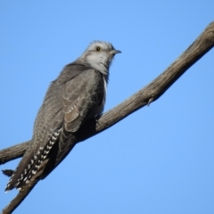 Cacomantis pallidus (Pallid Cuckoo) at Binya, NSW - 31 Jul 2020 by Liam.m