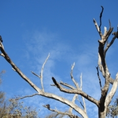 Calyptorhynchus lathami (Glossy Black-Cockatoo) at Moorong, NSW - 6 Jun 2020 by Liam.m