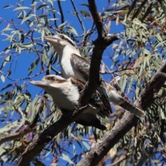 Dacelo novaeguineae (Laughing Kookaburra) at Cook, ACT - 5 Sep 2021 by Tammy