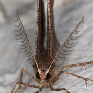 Rhinodia rostraria at Melba, ACT - 2 Sep 2021