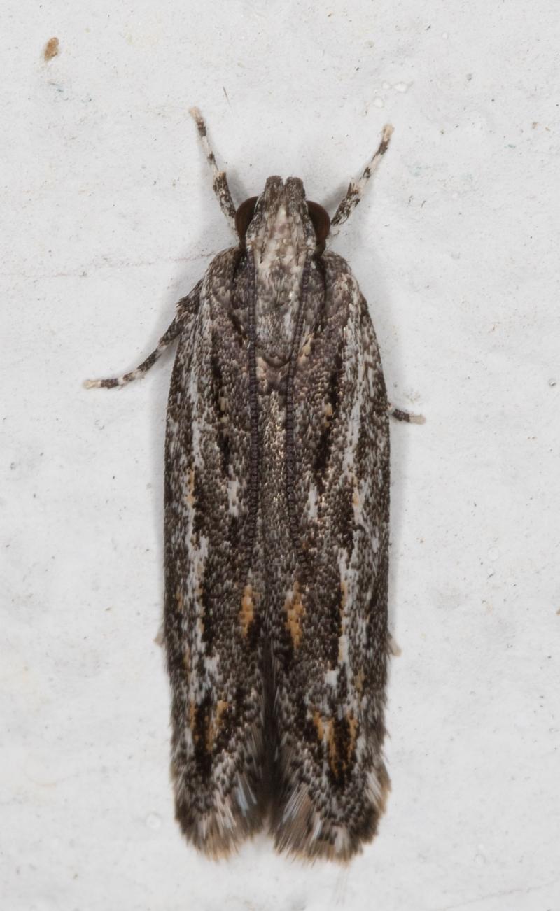 Ardozyga undescribed species nr amblopis at Melba, ACT - 1 Sep 2021