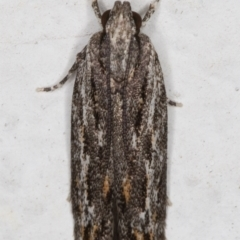Ardozyga undescribed species nr amblopis (A Gelechioid moth) at Melba, ACT - 1 Sep 2021 by kasiaaus