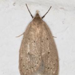 Chezala privatella (A Concealer moth) at Melba, ACT - 4 Sep 2021 by kasiaaus
