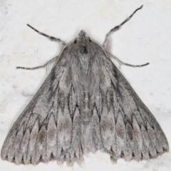 Cyneoterpna wilsoni (Cyneoterpna wilsoni) at Melba, ACT - 1 Sep 2021 by kasiaaus
