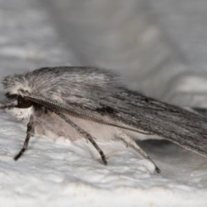 Cyneoterpna wilsoni at Melba, ACT - 2 Sep 2021