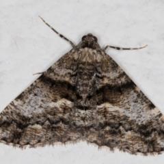 Gastrinodes argoplaca (Cryptic Bark Moth) at Melba, ACT - 1 Sep 2021 by kasiaaus