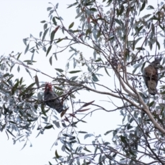 Callocephalon fimbriatum (Gang-gang Cockatoo) at Penrose, NSW - 2 Sep 2021 by Aussiegall