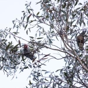 Callocephalon fimbriatum at Penrose, NSW - 2 Sep 2021