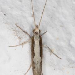 Plutella xylostella (Diamondback Moth) at Melba, ACT - 3 Sep 2021 by kasiaaus
