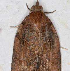 Epiphyas sp. (genus) (A Tortrid moth) at Melba, ACT - 2 Sep 2021 by kasiaaus