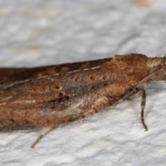 Epiphyas sp. (genus) at Melba, ACT - 2 Sep 2021
