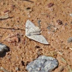Scopula rubraria (Plantain Moth) at Macarthur, ACT - 7 Sep 2021 by RodDeb